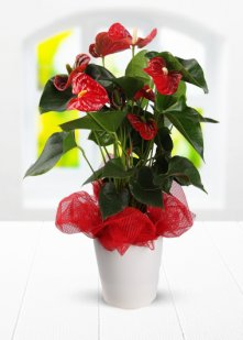 Saksıda Antoryum Çiçeği